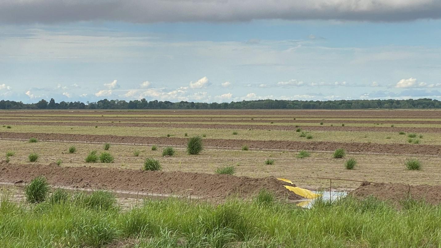 Ryegrass in emerged rice field