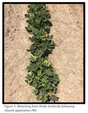 Figure 1: Bleaching from Brake herbicide following 16oz/A application PRE